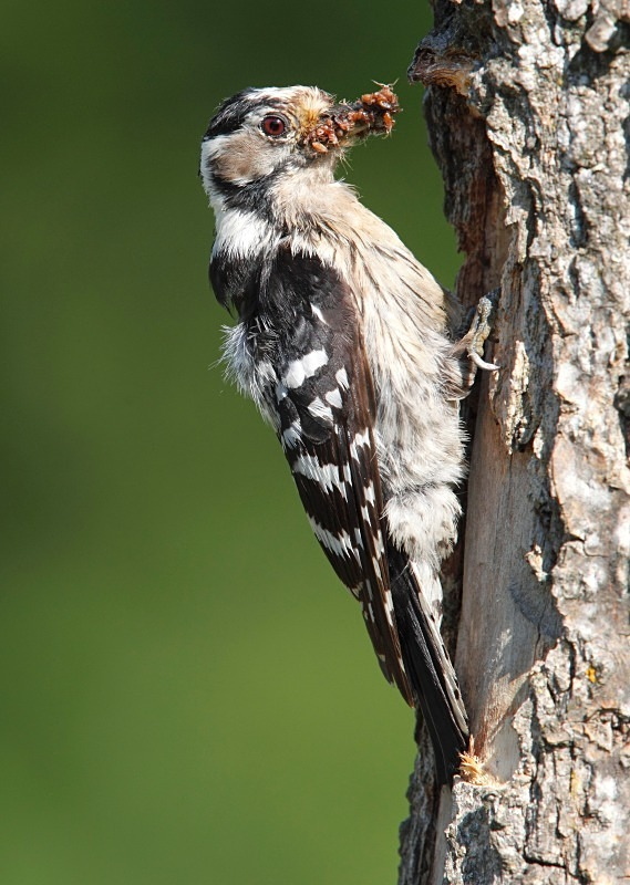 Lesser Spotted Woodpecker series - Woodland Stuff
