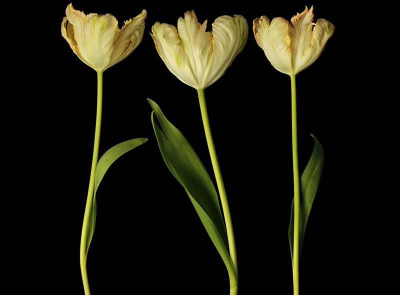 Tulip Series - Flora -Outdoor and Studio