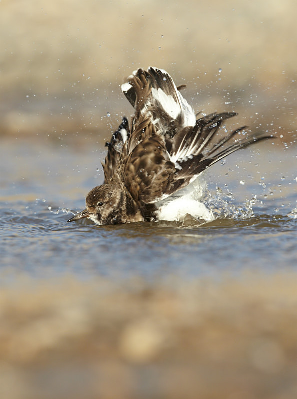 Turnstone bathing, Norfolk - Coastal stuff