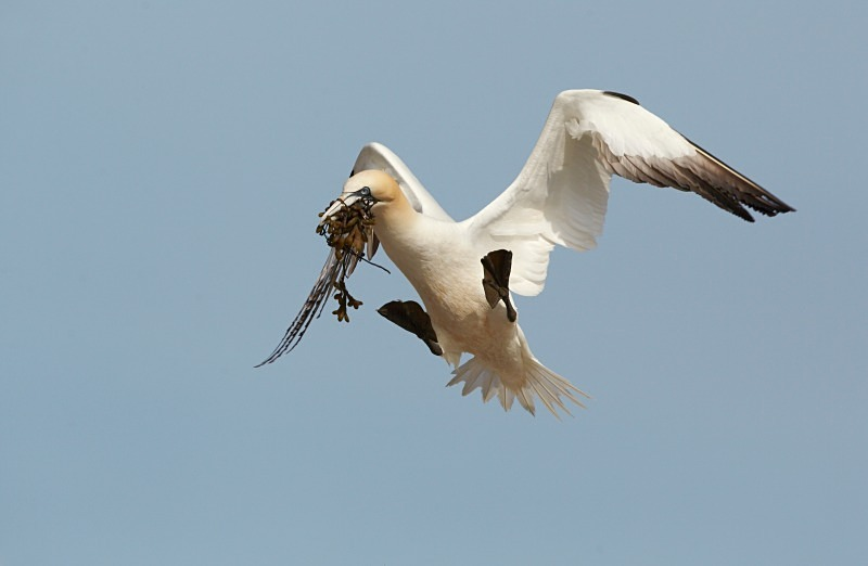 Gannet,  Bass Rock - Seabird Stuff