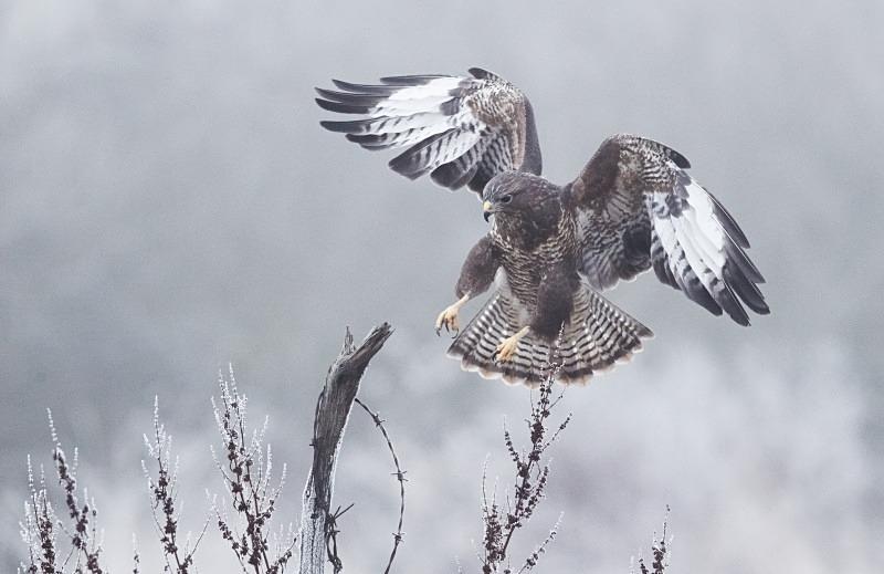 Buzzard in hoar frost - Wildlife Stock