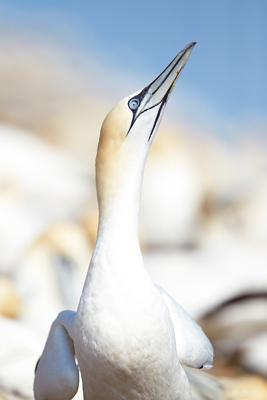 Gannet, Portrait, Bass Rock - Seabird Stuff