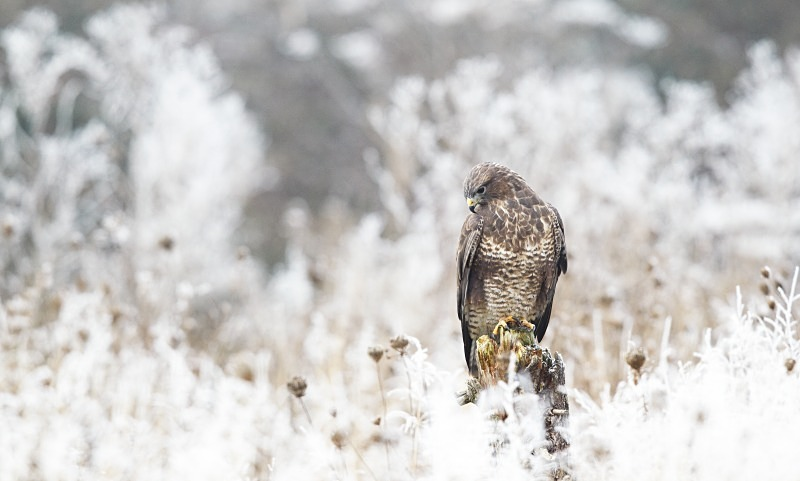 Buzzard in hoar frost - Birds Of Prey