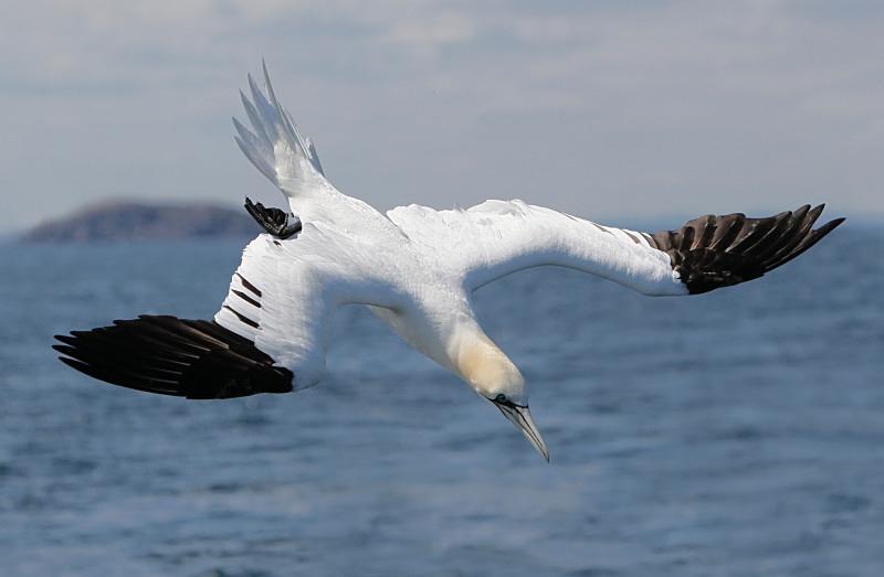 Gannet, Diving, Bass Rock - Seabird Stuff