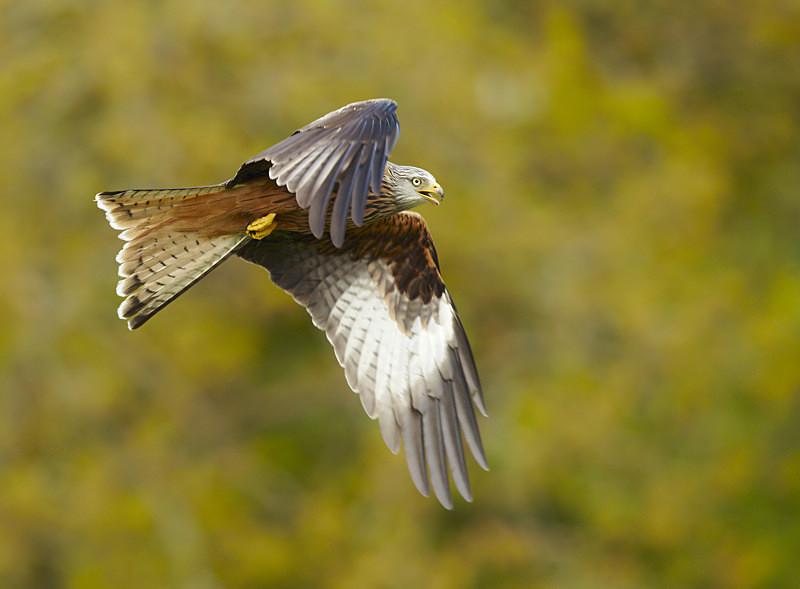 Red Kite, Gigrin Farm - Birds Of Prey