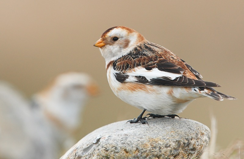 Snow Bunting, Norfolk - Coastal stuff
