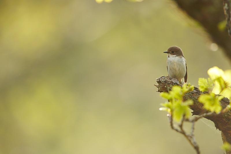 Pied Flycatcher series - female, landscape - Woodland Stuff