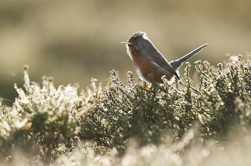 Dartford Warbler - Heath / Farmland Stuff