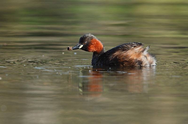 Little Grebe, Cromford - Freshwater / Reedbed Stuff