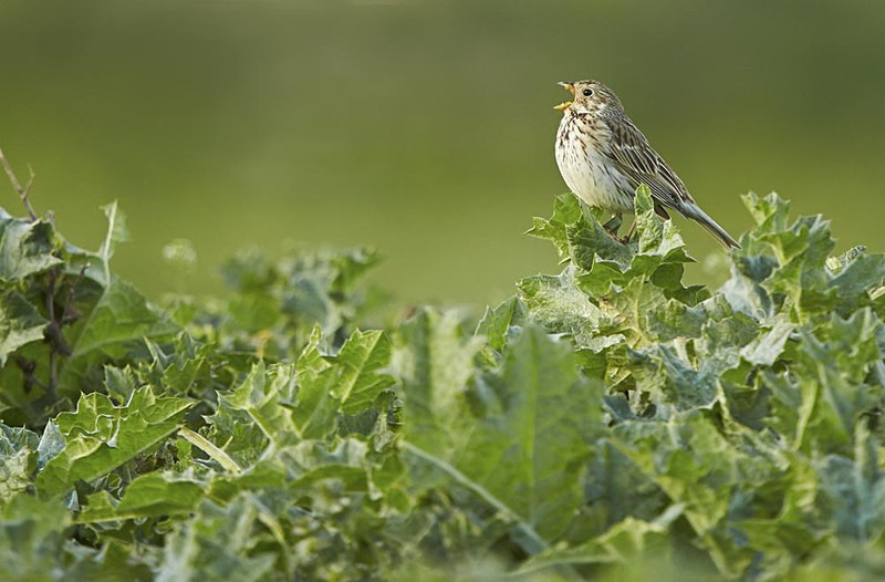 Corn Bunting - Heath / Farmland Stuff