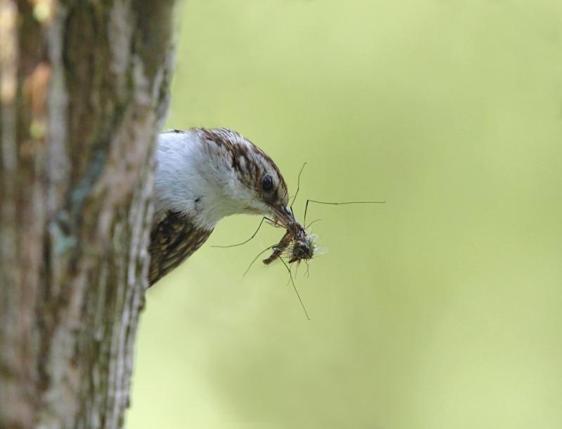 Treecreeper, series - Woodland Stuff