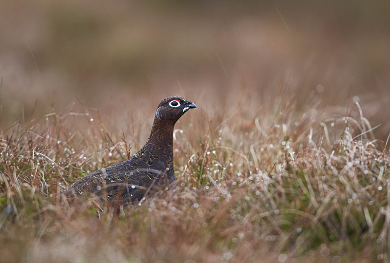 Red Grouse - Upland Stuff