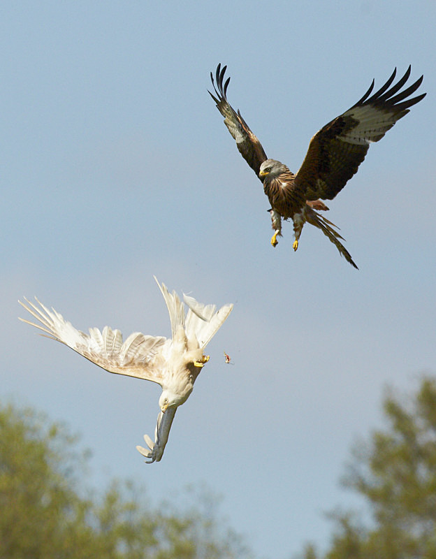 Red Kite, Leucistic, Gigrin Farm - Birds Of Prey