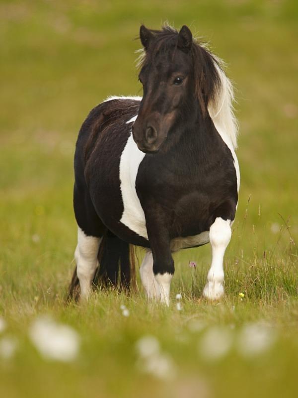 Shetland Pony - Wildlife Stock