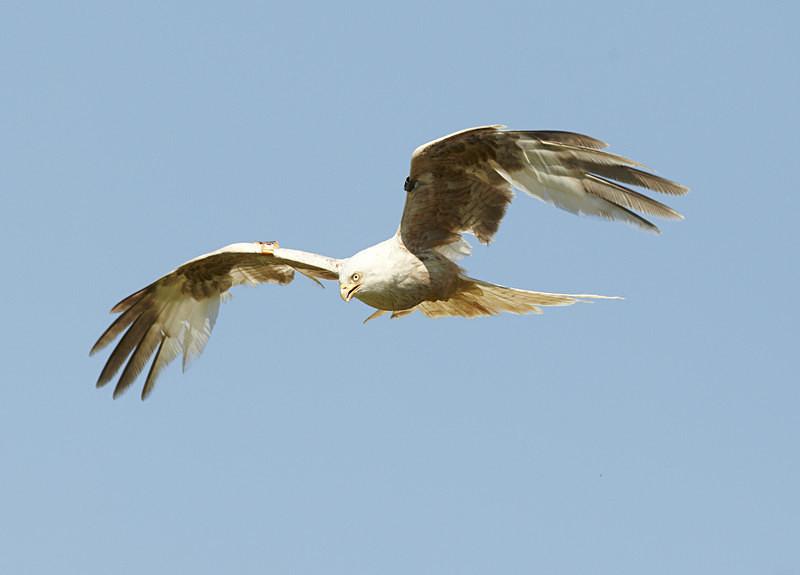 Red Kite, Leucistic, Gigrin Farm - Birds Of Prey