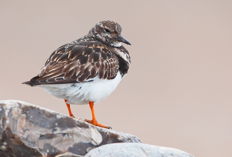 Turnstone - Coastal stuff