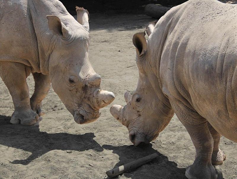 - Rhinos at Pairi Daiza, Belgium