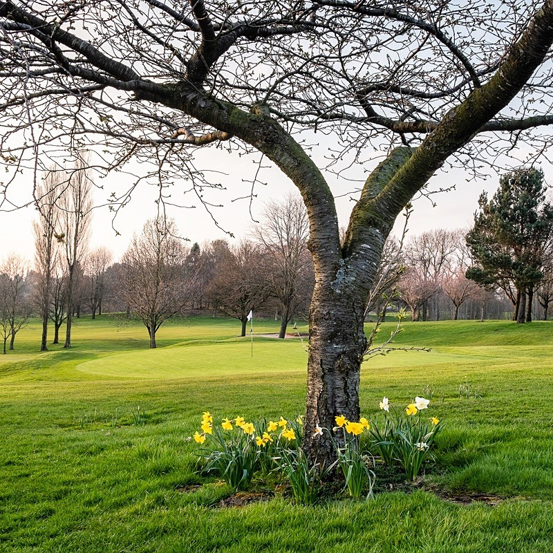 Daffodils by the 18th green - The Tytherington Club