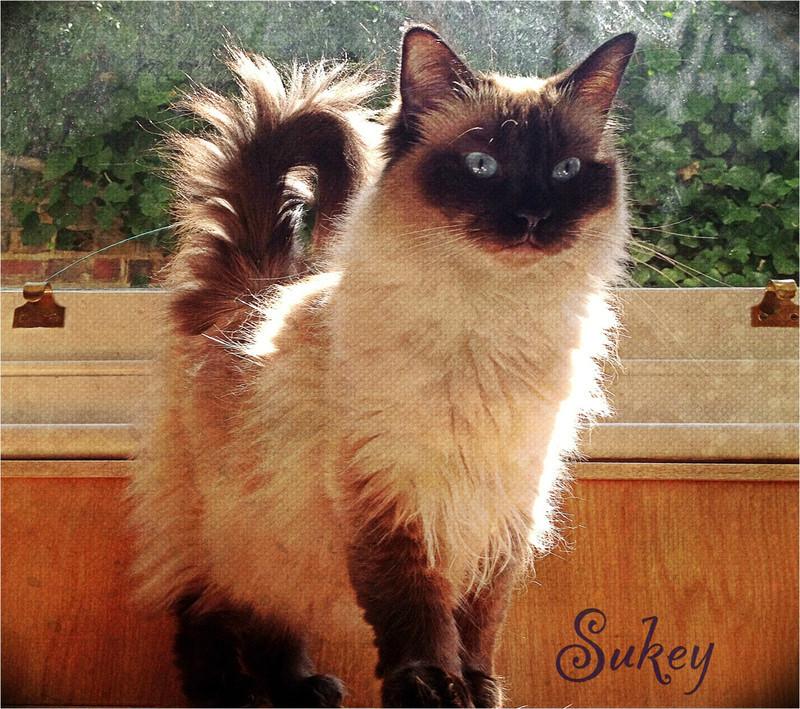 Sukey-Cat-Sitter-Hammersmith - Petography