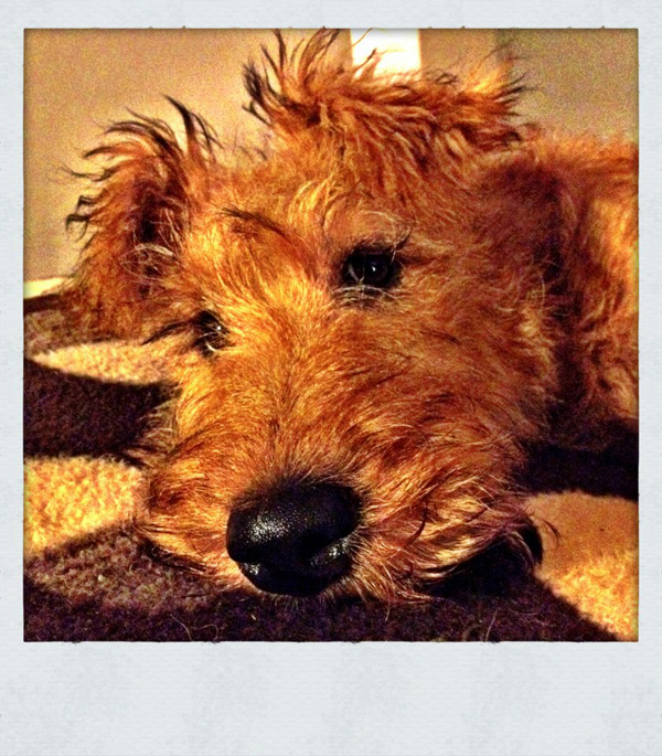 Murphy-Irish-Terrier-Puppy-Sitter-Fulham - Petography