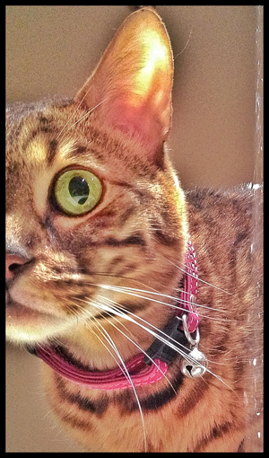 Jack-Bengal-Water-Cat-Sitter-Kensington - Petography