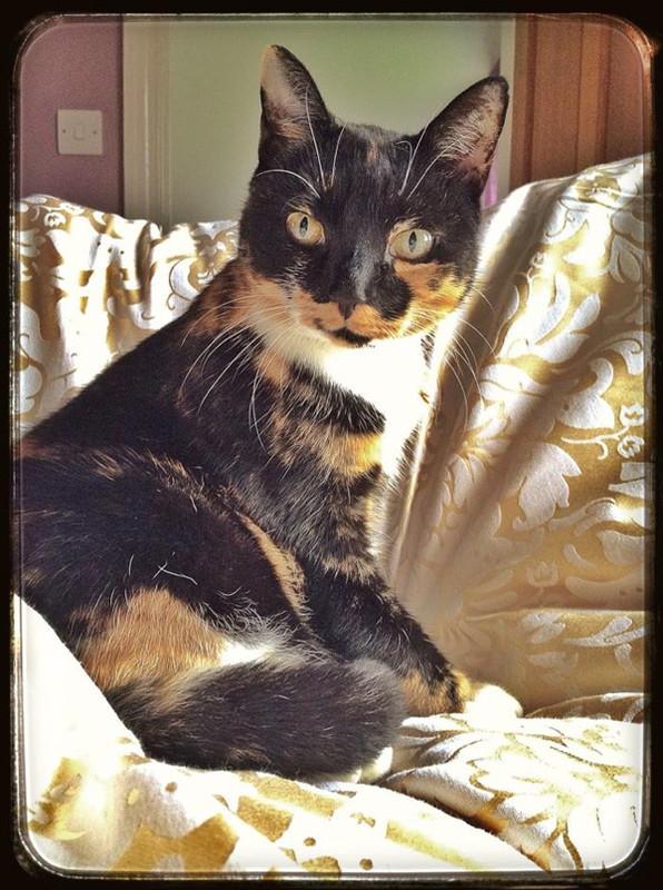 Tortoishell-Cat-Sitter-Fulham - Petography