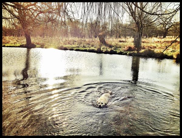 Hunter-Yellow-Labrador-Swimming-Dog-Walking-Putney - Hunter & Riley