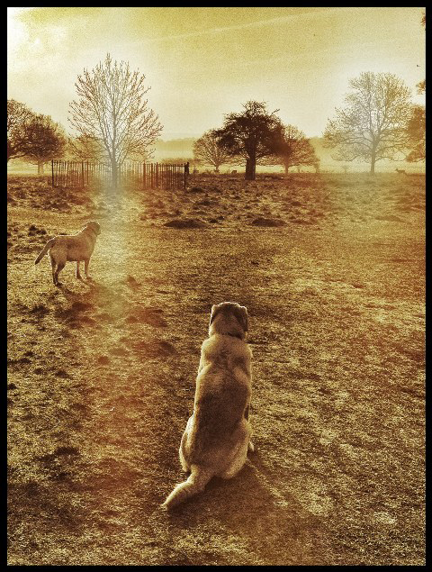 Labradors-Sunrise-Dog-Walker-Parsons-Green - Hunter & Riley
