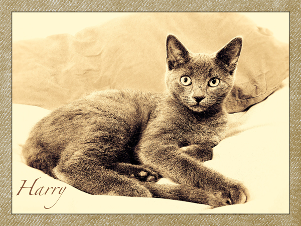Four-Month-Grey-Kitten-Care-Knightsbridge - Petography