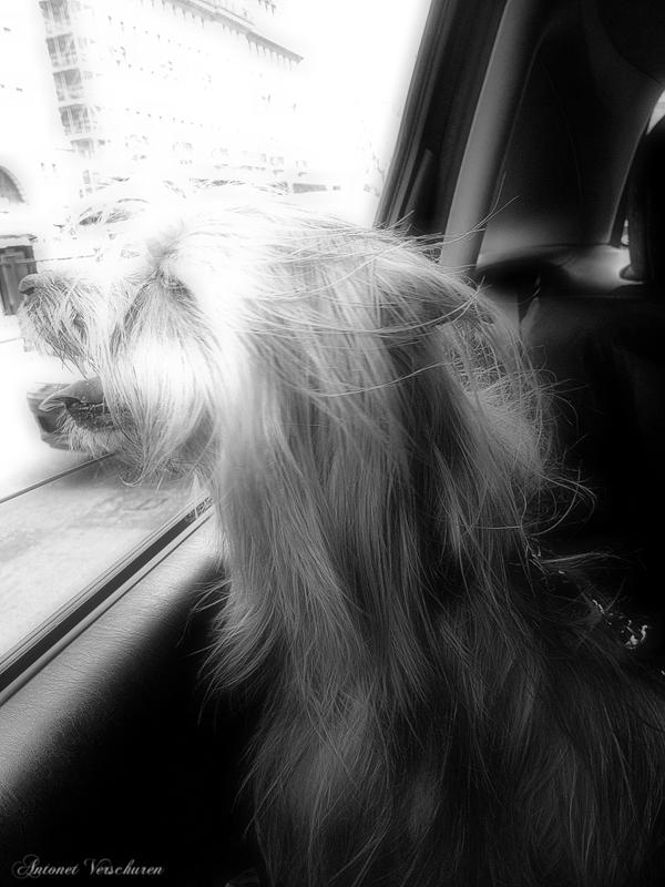 Yorkshire-Terrier-Car-Ride-Dog-Sitting-Baker-Street - Petography
