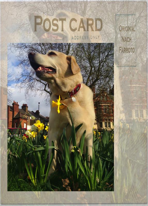 Hunter-Yellow-Labrador-Spring-Dog-Walking-Fulham - Hunter & Riley