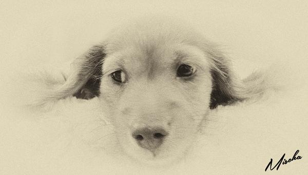 Day4-Mischa-Puppy-Sitting-Knightsbridge - Mischa