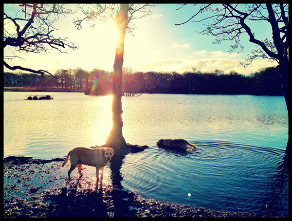 Labrador-Swimming-Sunrise-Lake-London-Dog-Walker - Hunter & Riley