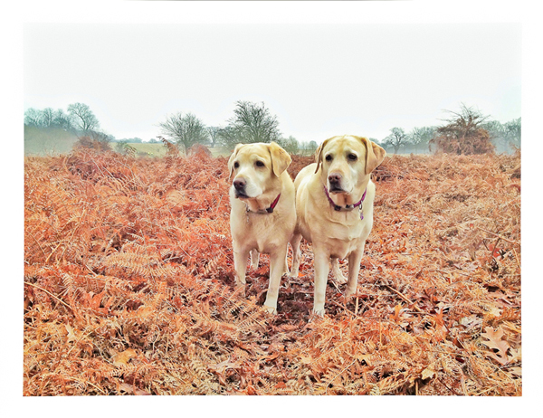 Labradors-Bracken-Dog-Sitter-Hammersmith - Hunter & Riley
