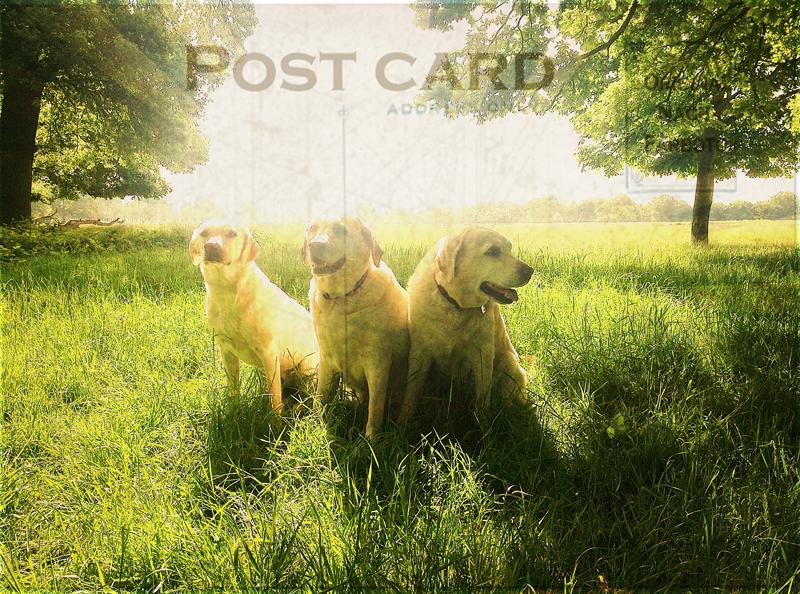 Labradors-Chelsea-Dog-Sitting - Hunter & Riley