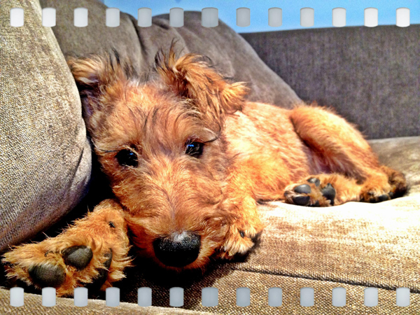 Irish-Terrier-Puppy-Sitting-Richmond - Petography