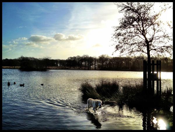 Hunter-Yellow-Labrador-Swimming-Dog-Walker-Putney - Hunter & Riley