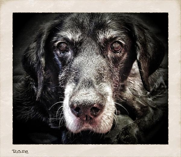 Rose-Elderly-Dog-Care-Veterinary-Nurse-London - Petography