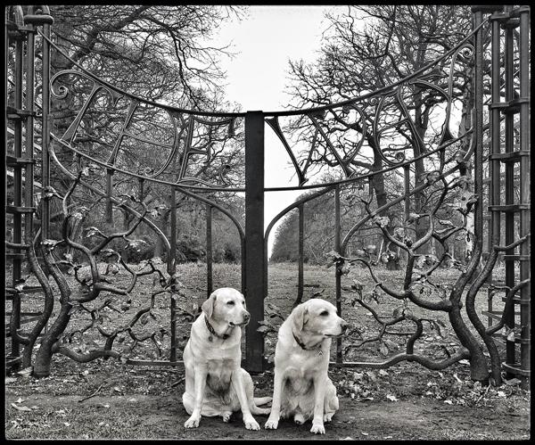 Adorable-Labradors-Putney-Dog-Walker - Hunter & Riley