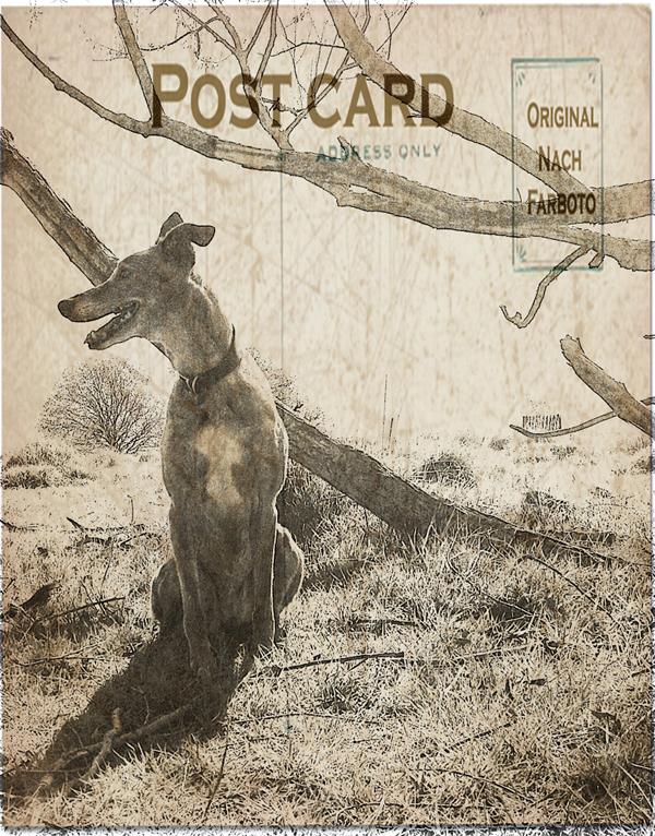 Lurcher-Ellie-Richmond-Dog-Walker - Petography