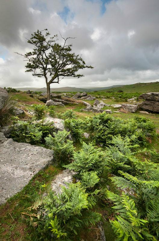 Lone tree, Dartmoor - Country