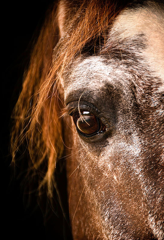 The Old Boy - Equine