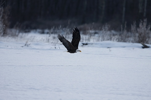 Bald Eagle in flight, IMG_1451 - Nature