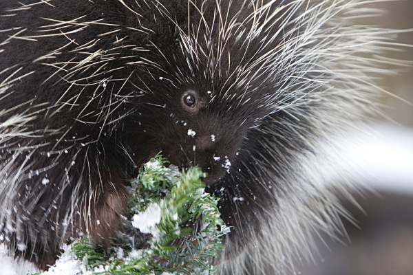 Porcupine face, IMG_0983 - Nature
