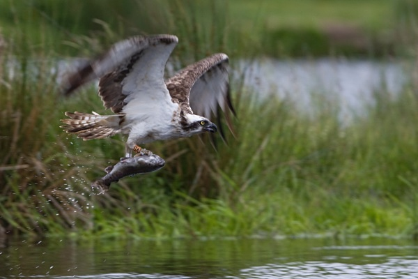IMG_8506 - Ospreys