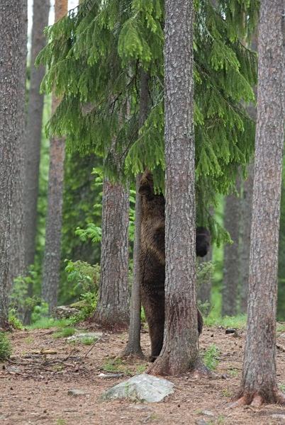 PJDBears-008 - Brown Bears