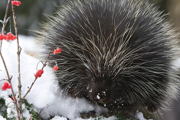 Porcupine IMG_0982 - Nature