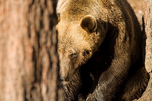 PJDBears-021 - Brown Bears