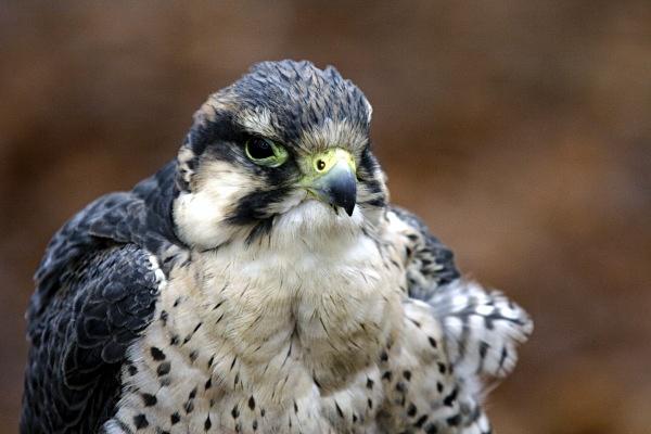Peregrine - Birds: Captive