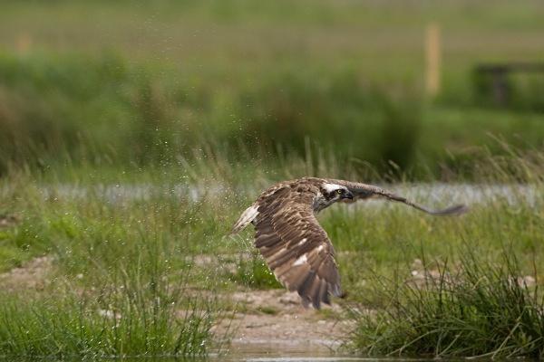 IMG_8503 - Ospreys